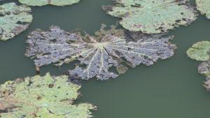 feuilles de lotus dur un plan d'eau
